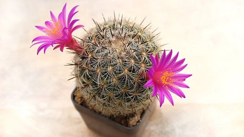 サボテン 花 期間 しぼむ 咲かない