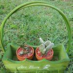 サボテンの種を蒔いてから発芽するまでの期間はどれくらい?