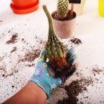 サボテンを切断?切り口に白いもの?植え替えする際に乾燥をさせる?