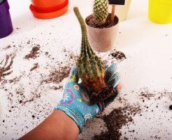 サボテン 切断 切り口 植え替え 乾燥