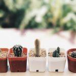 ダイソーなどの100均の土を使ってサボテンの植え替え!