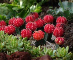 ハート サボテン 緋牡丹 観葉植物 寿命