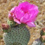サボテンが開花する条件と時間について調べてみよう!
