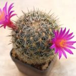 サボテンの花が咲き、しぼむまでの期間は?咲かない理由は?