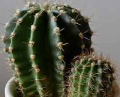 サボテン 植え替え 痛い 手袋
