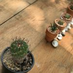 サボテンの実生について!種の蒔き方や時期、方法は?