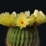 「小町」という花を咲かせるサボテンの育て方について!
